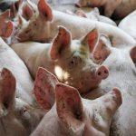 В Полтавской области зафиксирована вспышка АЧС
