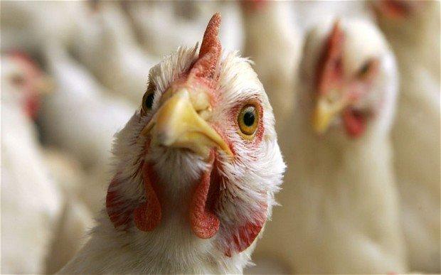 Вспышка гриппа птиц зарегистрирована на птицефабрике в Астраханской области