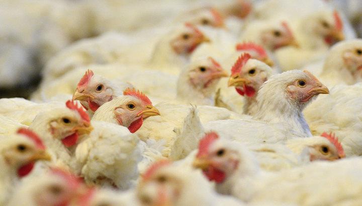 В Японии уничтожают 230 тысяч кур после выявления вируса птичьего гриппа