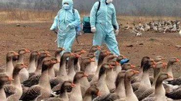 Птичий грипп оставит французов без фуа-гра