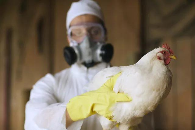 На одной из ферм в США обнаружен птичий грипп