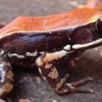 Антивирусная лягушка: ученые обнаружили убивающие штаммы гриппа пептиды у индийских земноводных