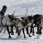 Ямальских оленей привили от сибирской язвы
