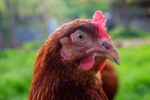 Эпидемиолог призвал россиян не бояться нового птичьего гриппа