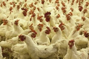 «Беспокоит, что вспышки птичьего гриппа возникают не только на фермах, но и на крупных птицефабриках»