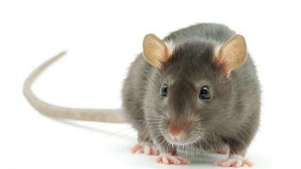 Крысы выявляют туберкулез лучше стандартного теста