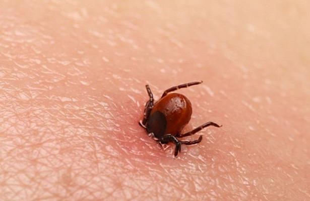 В России появился новый вид вируса клещевого энцефалита