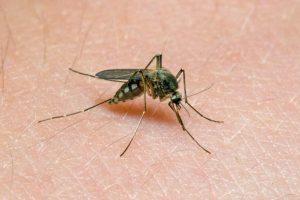Один укус комара несколько дней влияет на иммунитет человека