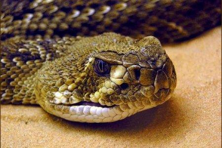 Яд гремучей змеи станет достойной заменой антибиотикам