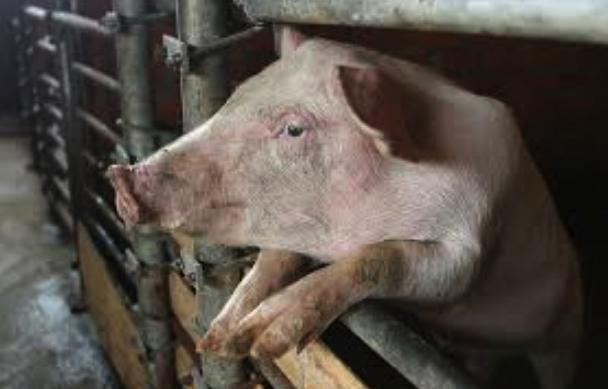 Ученые впервые выделили вирус африканской чумы свиней