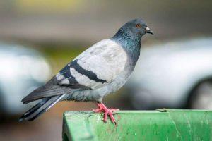 Чем можно заразиться от городских птиц