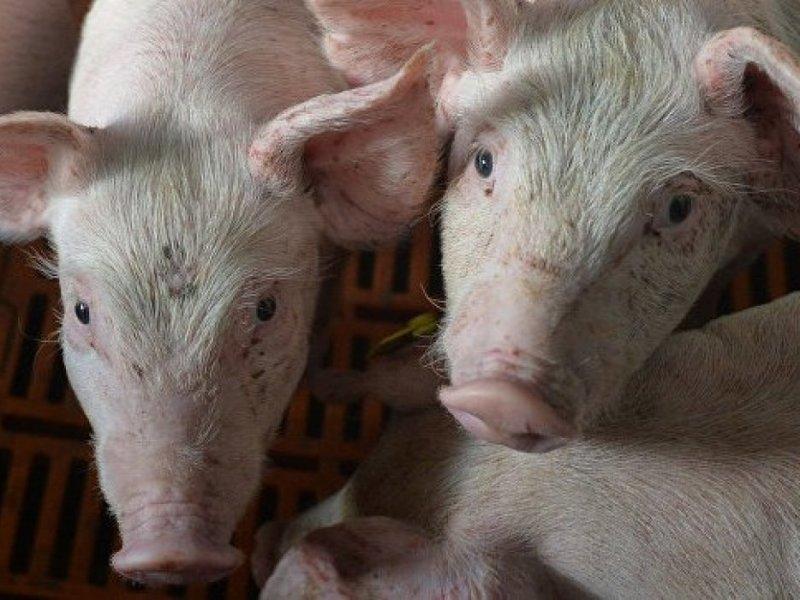 В Хабаровском крае ждут прихода африканской чумы свиней