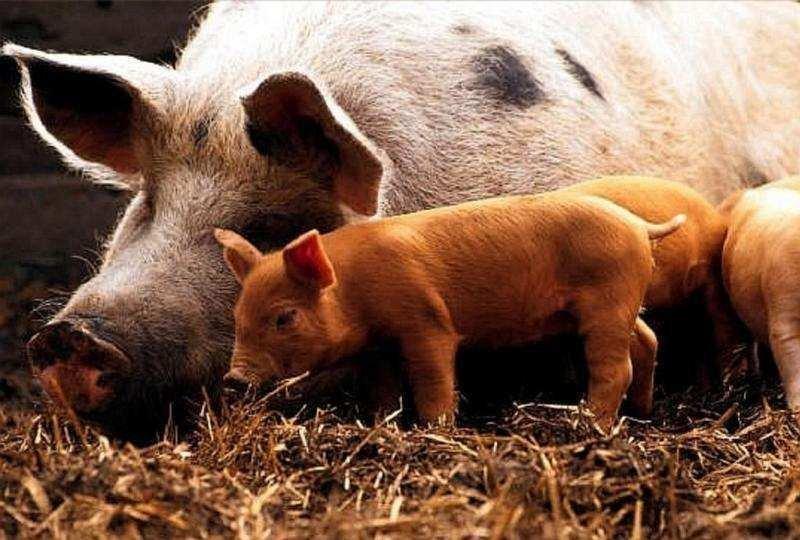 Филиппины объявили о первой вспышке африканской чумы свиней возле Манилы