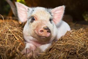 В Вадском районе Нижегородской области ликвидировали вспышку африканской чумы свиней