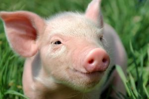 Южная Корея подтверждает два новых случая заболевания африканской чумы свиней