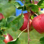 Бактерии-жители органических яблок оказались полезнее «населения» обычных