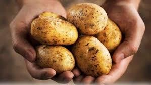 От гепатита поможет вакцина из картофеля