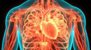 Ученые выяснили, как голодание отражается на сердечной мышце